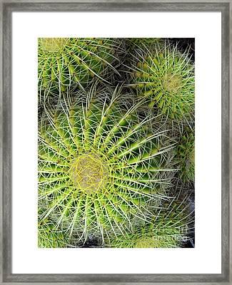 Pincushion Cactus  Framed Print by Ranjini Kandasamy