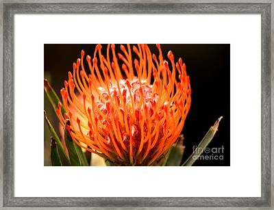 Pincushion Protea Framed Print by Deb Halloran