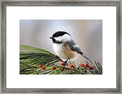Pine Chickadee Framed Print by Christina Rollo