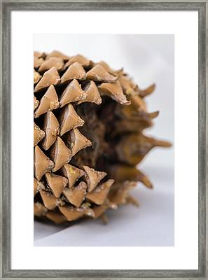 Pine Cone Study 17 Framed Print by Scott Campbell