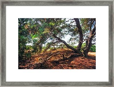 Pine Tree In Hoge Veluwe National Park 2. Netherlands Framed Print by Jenny Rainbow