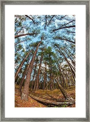 Pine Trees D30011905 Framed Print by Kevin Funk