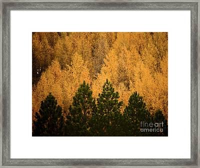 Pine Trees Framed Print by Tim Hester