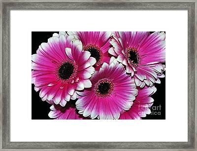 Pink And White Ornamental Gerberas Framed Print by Kaye Menner