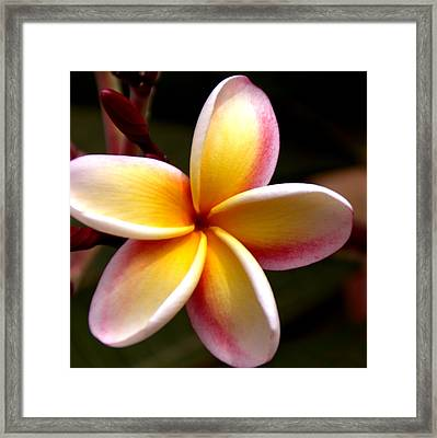 Pink And Yellow Plumeria Framed Print by Brian Harig