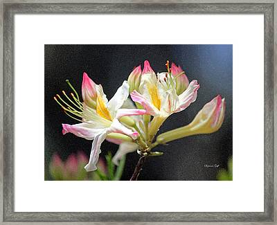 Pink And Yellow Rhododendron In Watercolor Framed Print by Suzanne Gaff
