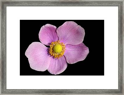 Pink Anemone Framed Print by Matthias Hauser