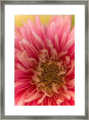 Pink Aster Framed Print by Benita Walker