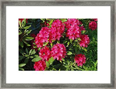Pink Azalea Bush Framed Print by Aimee L Maher Photography and Art Visit ALMGallerydotcom