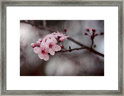 Pink Blossoms Framed Print by Michelle Wrighton
