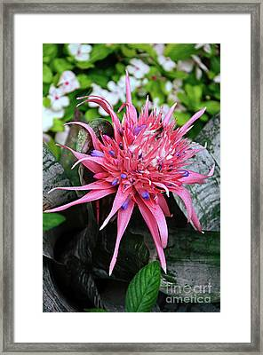 Pink Bromeliad Framed Print by Andee Design