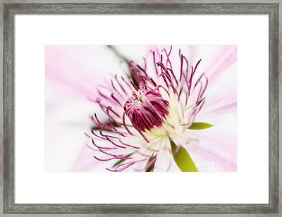 Pink Clematis Close Up - Dreamy Framed Print by Natalie Kinnear