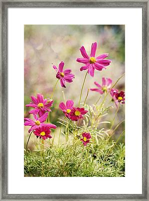 Pink Cosmos Framed Print by Juli Scalzi
