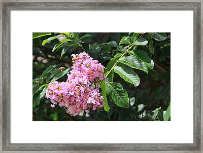 Pink Crape Myrtle Blossom With Tiny Bee Framed Print by Linda Phelps