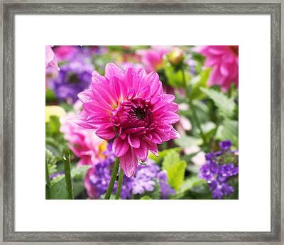 Pink Dahlia Framed Print by Rona Black