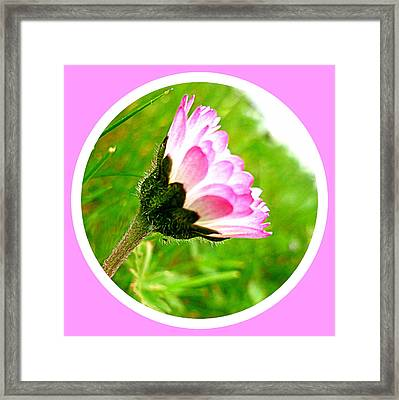 Pink Daisy  Framed Print by The Creative Minds Art and Photography
