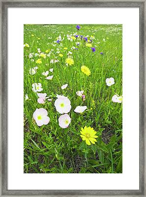 Pink Evening Primrose (oenothera Framed Print by Larry Ditto