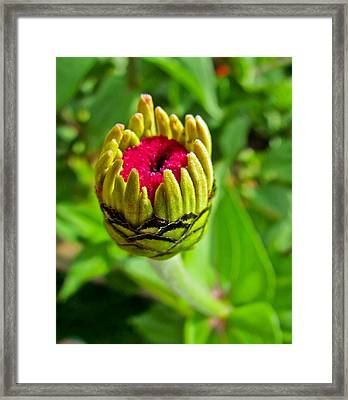 Pink Flower Bud Framed Print by Eva Kondzialkiewicz