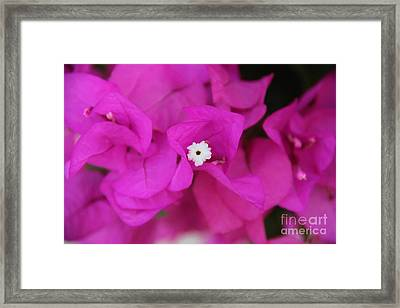 Pink Flower Of Malaga Framed Print by Mahsa Watercolor Artist
