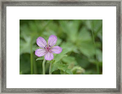 Pink Geranium In Bloom In Yellowstone Framed Print by Bruce Gourley