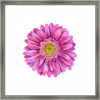 Pink Gerbera Daisy Framed Print by Amy Kirkpatrick