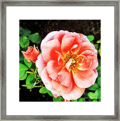 Pink Grace Framed Print by Nishanth Gopinathan