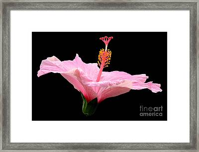 Pink Hibiscus On Black Background Framed Print by Rose Santuci-Sofranko