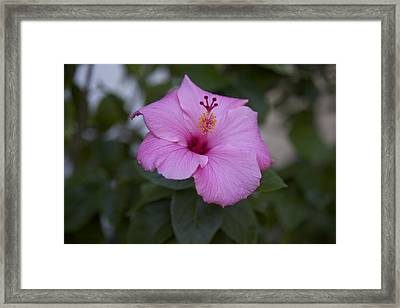 Pink Hibiscus Framed Print by Terry Horstman