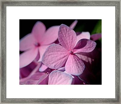 Pink Hydrangea Framed Print by Rona Black