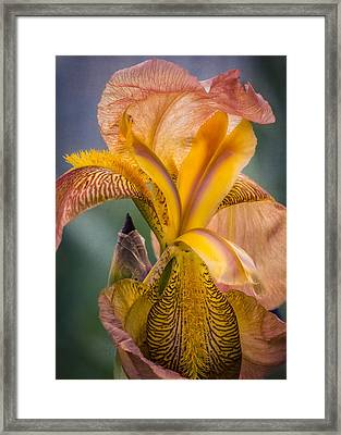 Pink Iris Framed Print by Eduard Moldoveanu