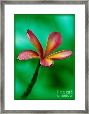 Pink Jasmin Framed Print by Julian Cook