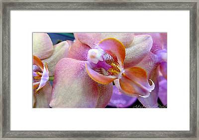 Pink Limonaid Orchids Macro Framed Print by Danielle  Parent