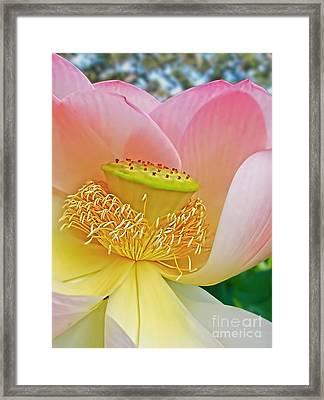 Pink Lotus Lily Framed Print by Kaye Menner