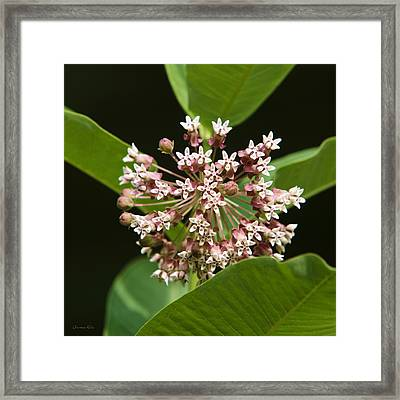 Pink Milkweed Flower Framed Print by Christina Rollo