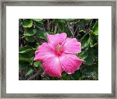 Pink  Framed Print by Mindy Sue Werth