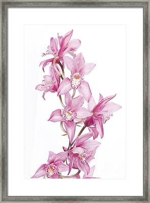 Pink Orchid Framed Print by Boon Mee