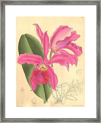 Pink Orchid Framed Print by Philip Ralley