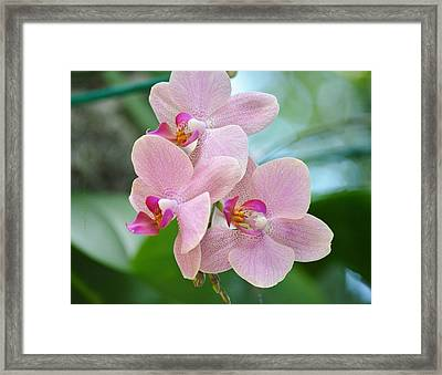 Pink Orchis Framed Print by Sonali Gangane