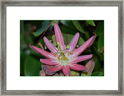 Pink Passion Framed Print by Sonali Gangane