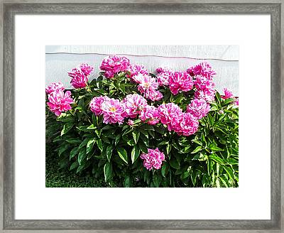 Pink Peonies Framed Print by Zina Stromberg