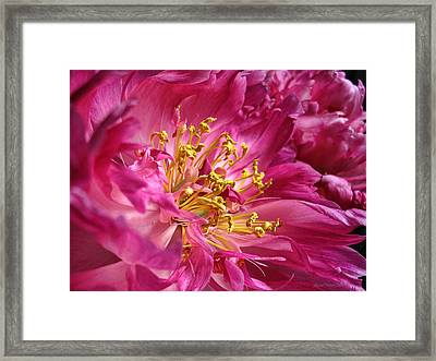 Pink Peony Flower Macro Framed Print by Jennie Marie Schell