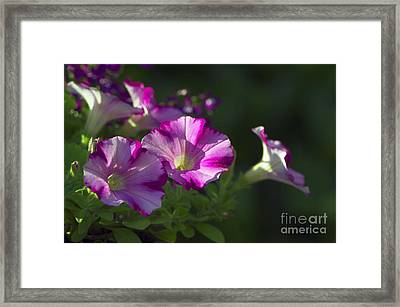 Pink Petunias Framed Print by Sharon Talson
