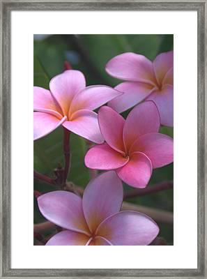 Pink Plumeria Framed Print by Brian Harig