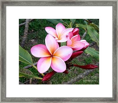Pink Plumeria Framed Print by Mindy Sue Werth