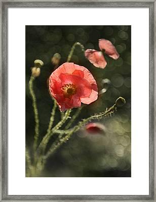 Pink Poppies Impression Framed Print by Jaroslaw Blaminsky