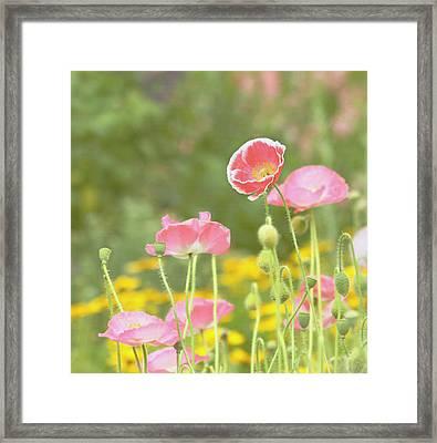 Pink Poppies Framed Print by Kim Hojnacki