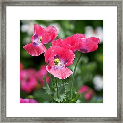 Pink Poppies Framed Print by Rona Black