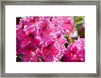 Rhododendron Called Azalea Bright Pink Flowers  Framed Print by Arletta Cwalina