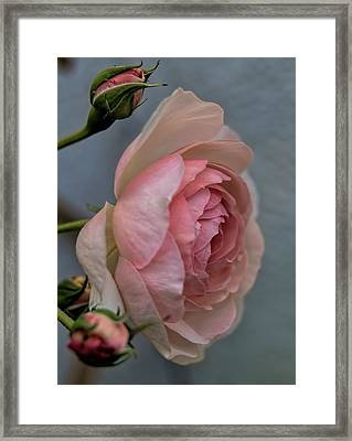 Pink Rose Framed Print by Leif Sohlman