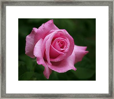 Pink Rose Perfection Framed Print by Rona Black